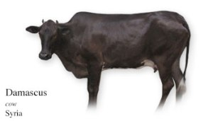 Damascus cow (modern) native to Syria. Image: http://www.krankykids.com/cows/mydailycow_alphabetical/A.html